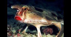 Peixe-morcego-boca-vermelha Reprodução/Reefrain Forest