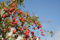 Organic care for apple trees