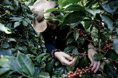 Harvesting coffee cherries with care Throughout The World, Growing Plants, Cherries, Farmer, Sustainability, Coffee, Maraschino Cherries, Kaffee, Cherry Fruit