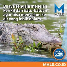 Fakta Unik Dunia - Male Indonesia