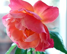 rose~ gorgeous   Wonder what kind it is