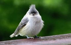 Tufted Titmouse by Birds & Blooms reader Lois Hobart