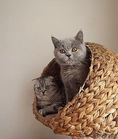 Scottish Fold and Shorthair Kittens Crazy Cat Lady, Crazy Cats, Kittens Cutest, Cats And Kittens, Cat Scottish Fold, Wildlife Paintings, British Shorthair, Hello Kitty, Dog Cat