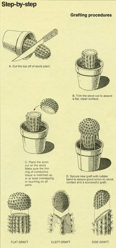 I have no idea if this is how you really graft cactus or how successfully you can graft cactus at all, but I would like to find out more. (The World of Cactus & Succulents, Cactus Greffé, Cactus Planta, Cactus Flower, Grafted Cactus, Mini Cactus Garden, Vertical Succulent Gardens, Green Garden, Cacti And Succulents, Planting Succulents