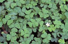 "size #1 1 Tall Bearded Iris /""Victoria Falls/""-Fragrant and Reblooming Rhiz. Lg"