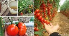 Просто попшикайте смесью помидоры и огурцы – и они болеть не будут вообще! - Ok'ейно.plus