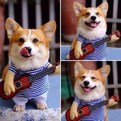Corgi mix breeds are some of the most saught after mix breed dogs. Which Corgi mix is right for you? Find out with PICS & mix breed FACTS by veterinarians Corgi Funny, Cute Corgi, Cute Puppies, Dogs And Puppies, Teacup Puppies, Funny Pets, Corgi Puppies, Cute Funny Animals, Funny Animal Pictures