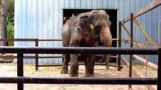 Asian Elephant Rocking & Swaying - Two Tails Ranch Exotic Animal Sanctua...