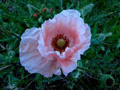 Close-up of poppy flower at Port, Bern Canton, Switzerland