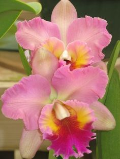 Shade Garden Flowers And Decor Ideas Cattleya Hbrida