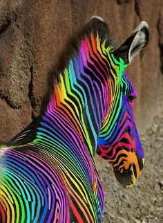 Multi colored Zebra.. Is like the world, because if the zebra has all of its colors it is the world like the earth needs it people to become one!!! HEHE HAHA LOL #ZEBRA #COLORS