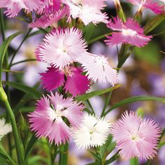 'First Love' Pinks....Love the spicy clove smell of this Dianthus!