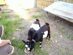 7 GIFs Of Adorable Fainting Goats, scroll down to see this one.