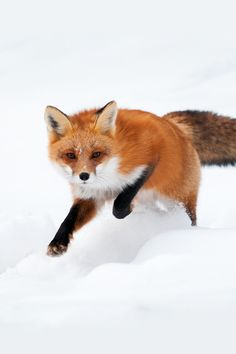 Red fox. Their colors stand out so much more when they're in the snow