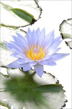 Blue Water Lily - by Bahman Farzad on Flickr.