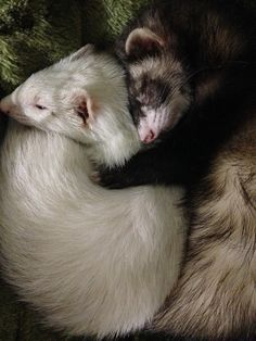 We love our ferrets.