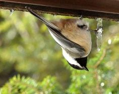 Black-capped Chickadee drinking from an icicle.