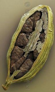 Green Cardamom Pod (Elettaria cardamomum) and Seeds
