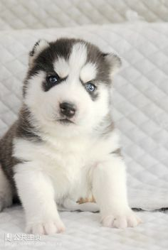 179 Best Little Husky Images Cute Dogs Pets Cute Puppies