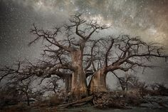 These stunning photos of ancient trees set against all-natural long-exposure backdrops of the Milky Way was inspired by two fascinating scientific studies that connect tree growth with celestial movement and astral cycles Starry Night Sky, Night Skies, African Tree, Baobab Tree, Moon Photography, Photography Books, Amazing Photography, Colossal Art, Old Trees