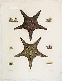 LELORGNE DE SAVIGNY, M,J.C.,  Astéries., antique map, old maps
