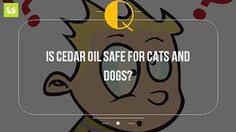 Is Cedar Oil Safe For Cats And Dogs Essential oil safety tips for cat owners safe oils dogs non toxic flea and tick control naturally that are not cats cedar kills bugs dead new pesticide people and on Pet Lovers What Causes Depression, Pet Dogs, Dog Cat, Palm Tree Plant, Cedar Oil, Essential Oil Safety, Tick Control, Cat Watch, Raining Cats And Dogs