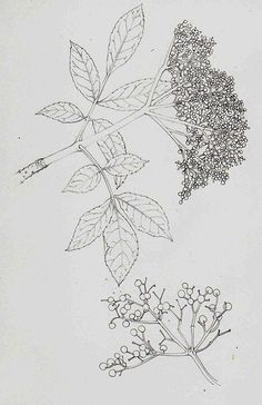 Elder botanical illustration step by step by Lizzie Harper natural history illustrator