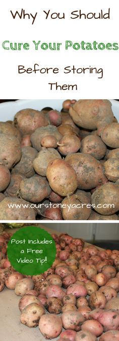 #3 Curing Potatoes.  Curing potatoes before winter storage is an important process that will help assure longer storing times for your potato crop.