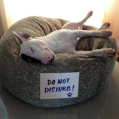 Do not disturb! For bullie t-shirts go to www.projectbullterrier.com