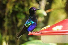 1024px-Velvet-purple_coronet_(Boissonneaua_jardini)_(6995910594).jpg (1024×683)