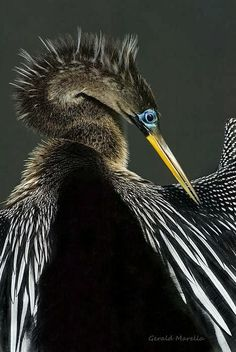 Preening Male Anhinga, a kind of cormorant
