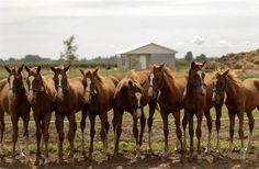 Doce clones sanos de una sola yegua de polo, récord argentino de clonación  Foto: Gentileza Belén Sanmartino clons of ine horse in Argentina.