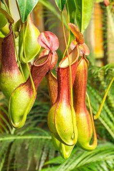 Le nepenthes