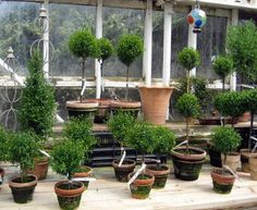 topiaries at Monches Farm in Colgate, Wisconsin Boxwood Garden, Topiary Garden, Boxwood Topiary, Garden Pots, Topiaries, Potted Garden, Potted Plants, Unusual Plants, Rare Plants