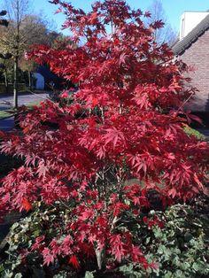Acer palmatum 'Atropurpureum' (Japanse Esdoorn), in herfst prachtige rode kleur, verlangen beschutte plaats in vrij vochtige grond, vele soorten en dwergvormen verkrijgbaar, kan in pot - bak (tot 3m)