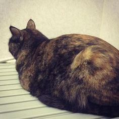 でもこやつがいちばん♥️♥️ #猫#ねこ#ネコ#愛猫#家族#ペット#さび猫#サビ猫#ただいま#ツンツン#ツン