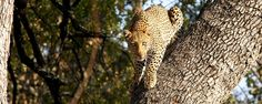 Le parc National Kruger:  léopard