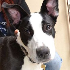 Odin is a goofy #GreatDane #puppy up for adoption in San Diego. He loves people, other dogs and would do best in a family who is active and fun-loving. Just look at those ears!