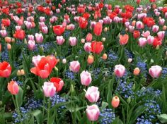 tulips at giverny - Google Search