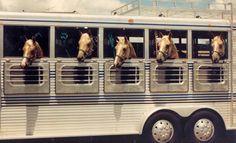 equinehearts:    one big trailer, full of palominos!