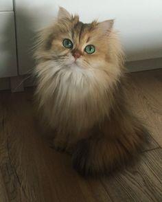 Smoothie the beautiful British longhair