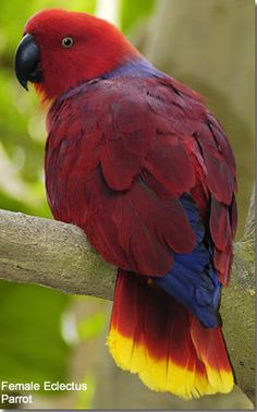 Female Electus Parrot. Native to Solomon Islands, New Guinea, northeastern Australia & the Maluku Islands.