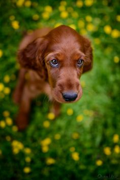 Irish setter puppie / they have such sweet faces and those eyes