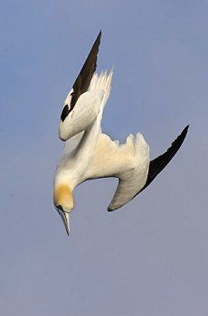 Gannet plunge diving, Shetland Islands, Scotland, by © Andrew Parkinson via Corbis.com