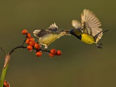 Olive Backed Sunbird - Male | Flickr - Photo Sharing!