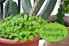 Balcony Foraging - How to eat your weeds! (specifically stinging nettle)