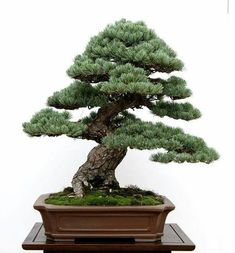 Pine Bonsai, Bonsai Trees, Miniature Trees, Tiny World, Bonsai Garden, Ikebana, Cactus Plants, Amazing Art, Indoor Outdoor