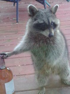 Party raccoon