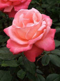 'Catherine Deneuve' | Hybrid Tea Rose. Meilland International (France, before 1979). | Flickr - © Nemo's great uncle