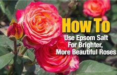 Epsom Salt For Brighter Roses